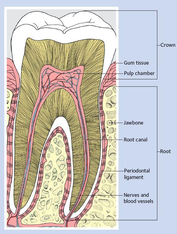 Tooth_Diagram_English